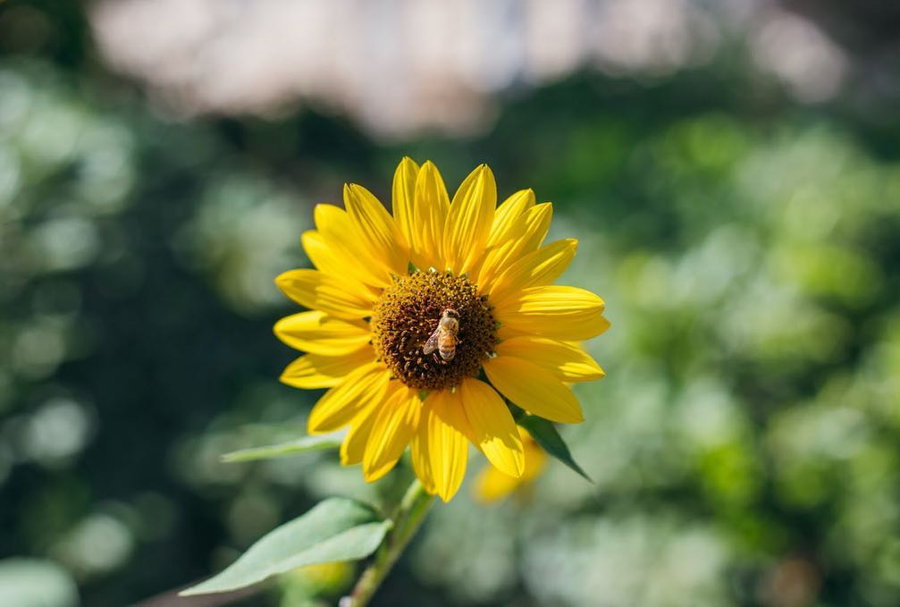 lavido花園栽種的天向日葵