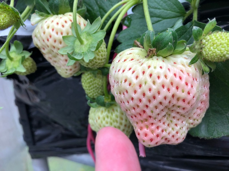 2020215內湖白石湖草莓季_200216_0007