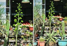 世紀植物數十年才開花!龍舌蘭綻放中