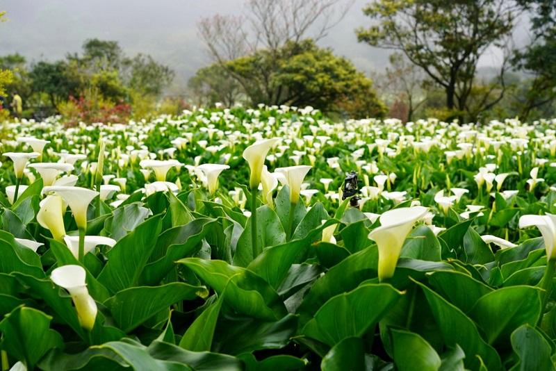 【2021年竹子湖海芋季及繡球花季】留下美好的回憶 「竹子湖海芋生態農園體驗」一日遊活動